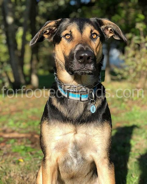 Lab German Shepherd Mix Fakta