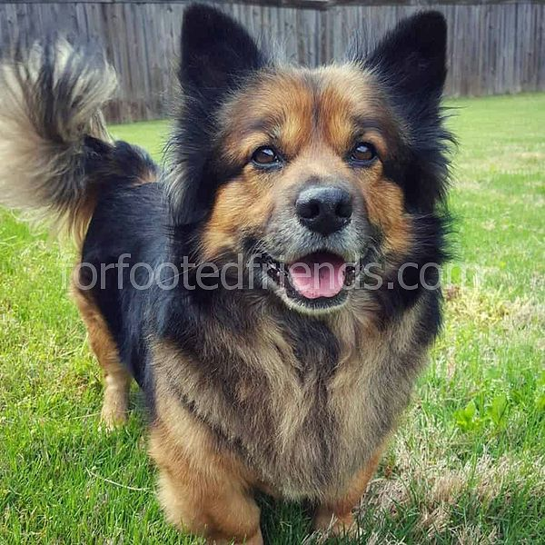 Corgi German Shepherd Mix Rasse Fakten